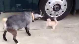 Crazy Goat vs Kitten