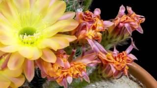 Tchaikovsky Petr Ilyich  -  Waltz of Flowers (2)