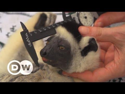 Saving Madagascar's threatened lemurs | DW English