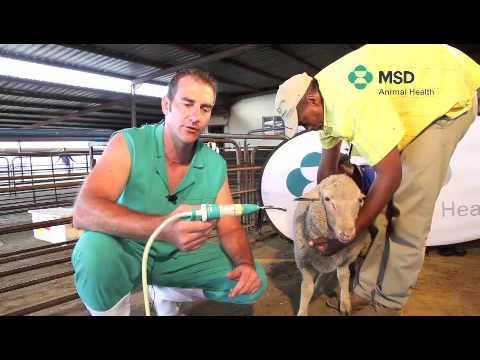 Sheep Drenching Technique