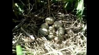 jaja bażanta łownego