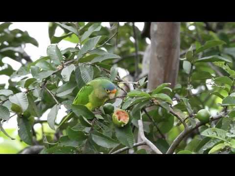 Orange-fronted Parakeet.mpg