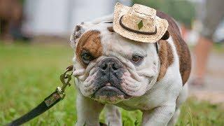 Английский бульдог! Полное описание о породе собаки!