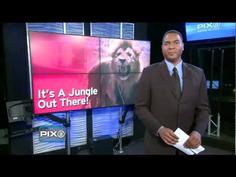 [VIDEO] WILD ANIMALS SET LOOSE FRIGHTEN SMALL MIDWEST TOWN - PETER THORNE REPORTS - (10.19.11)