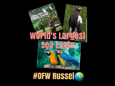 Largest Sea Eagle in the World @ Bird Show Dubai  2019