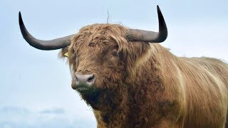 THE MONSTER OF A HIGHLAND BULL HAS ARRIVED