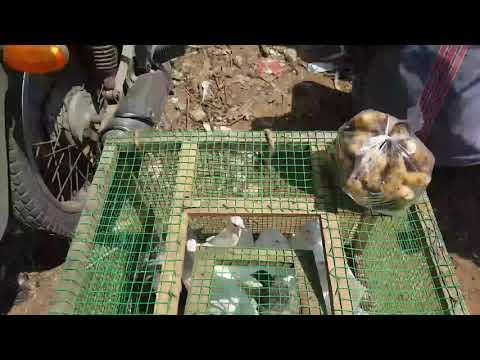 Pigeon markt pallavaram