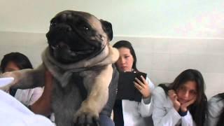 Recolecta de semen - Examen Andrológico Canino 2