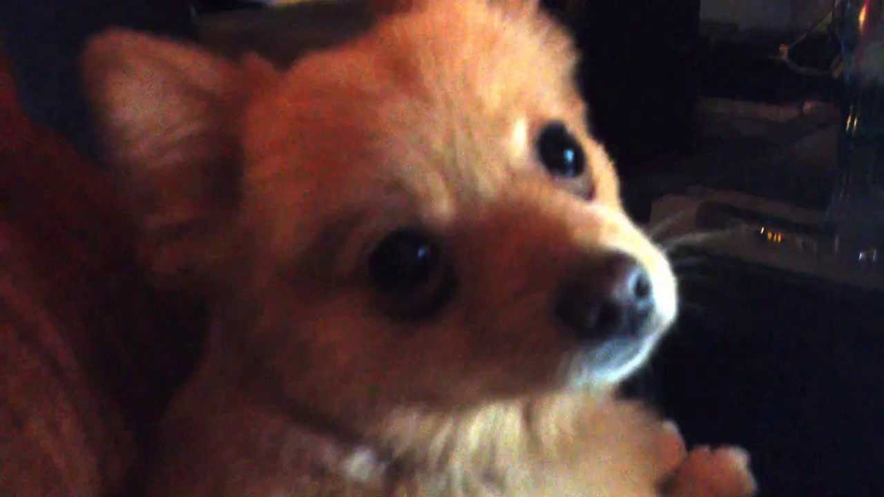 pomeranian cough quot kennel cough quot pomeranian youtube 9423
