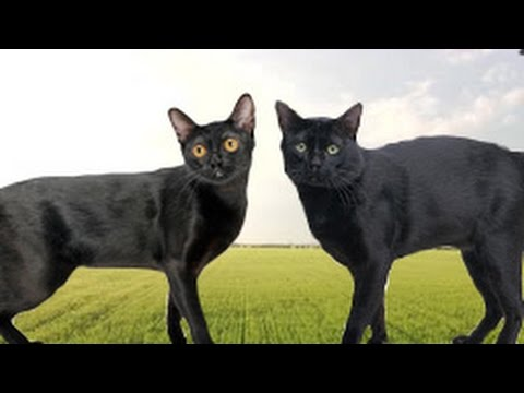 American Bombay vs British Bombay Cat - What's the Difference?