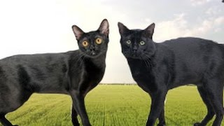 American Bombay vs British Bombay Cat  What's the Difference?