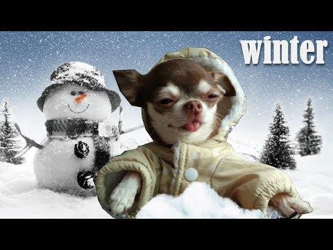 Чихуахуа и теплая зимняя куртка! Как пережить русскую зиму?
