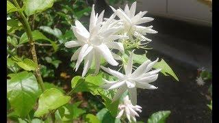 Rare Fragrant Arabian Jasmine - Belle of India - Grand Duke - Star Jasmine..