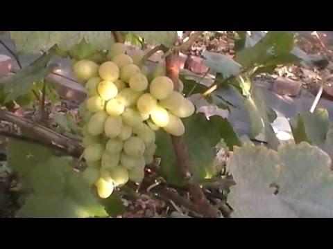 Сорт винограда Красный тато - сезон 2015