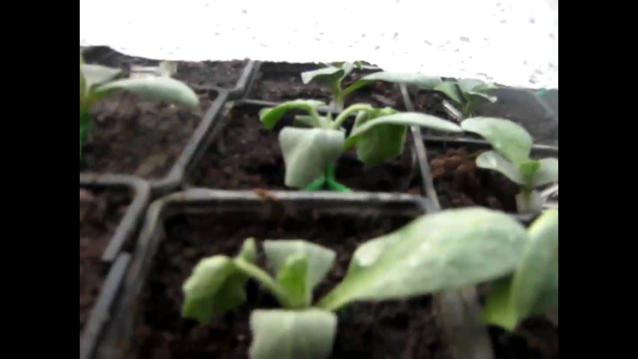 paraziták a görögdinnyéken