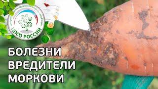 Болезни и вредители моркови. Защита моркови от вредителей и болезней.
