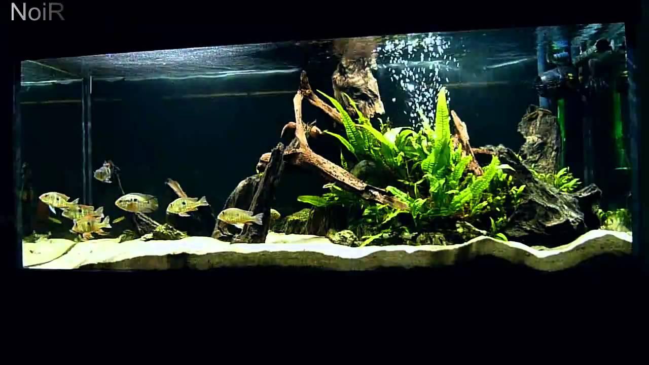 South American Cichlid Aquarium Doovi