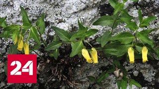 Доледниковое растение зацвело в Сочи - Россия 24