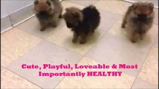 Tiny Pomeranian Puppies On Speacial For V-day!