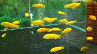 Лабидохромис Еллоу или цихлида-колибри /Labidochromis caeruleus/