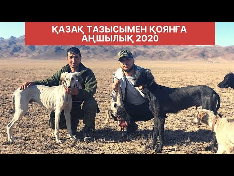 Қазақ тазысымен қоянға аңшылық 2020/Охота на зайца с тазы собакой 2020