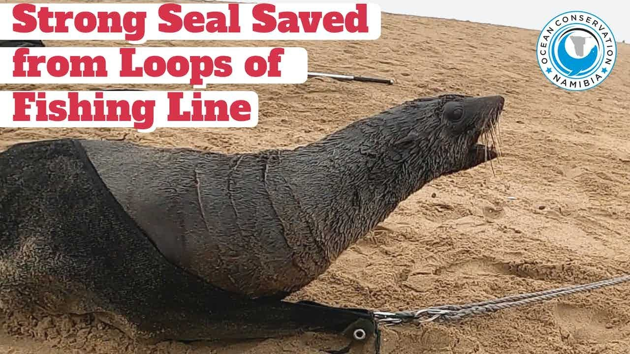 Strong Seal Saved from Several Loops of Fishing Line