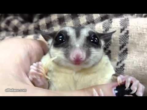 Il cucciolo più dolce al mondo – piccolo petauro dello zucchero!