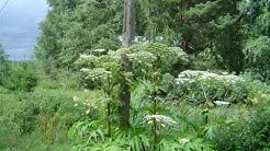 The Genesis of The Giant Hogweed