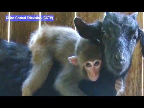 Baby Monkey is Best Friends with Goat