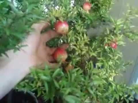 Как правильно выращивать мандарины в домашних условиях
