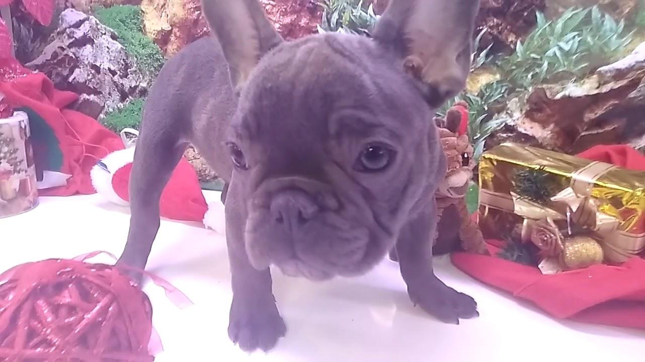 Cachorro Bulldog Francés Blue Macho 4908 Aquanatura Barcelona Youtube