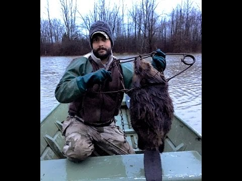 Open Water Beaver Trapping from a Boat in Ohio 2016