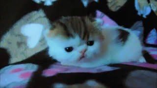 Exotic Shorthair Kitten 3 weeks old
