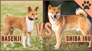 Basenji vs Shiba Inu  Which is better for you?