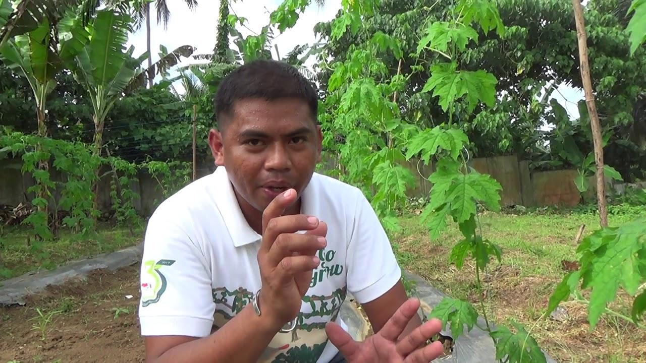 Download Guide in growing Bittergourd / Ampalaya. Kumikitang kabuhayan.