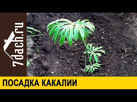Какалия -