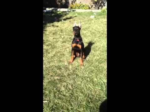 Doberman raw diet