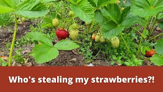 Who's stealing my strawberries?!