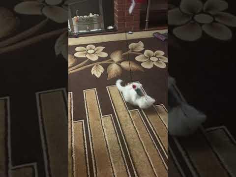 Turkish Angora kitten in mood to play