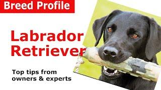 Labrador Retriever Dog Breed Guide