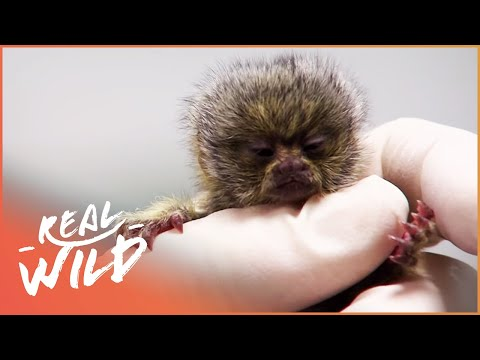 Baby Marmosets - The Smallest Monkey In The World | The Zoo | Real Wild