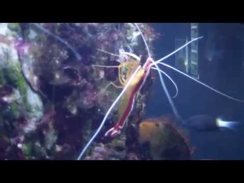 Креветка-боксер. Boxer shrimp.