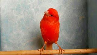 Самка Сбежала с Клетки.Красные канарейки.Canary