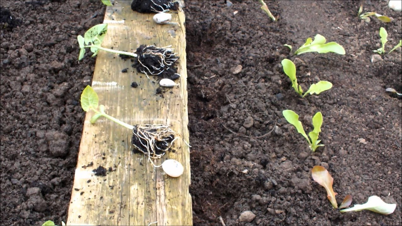 Transplanting Dwarf French Beans Into A Raised Bed