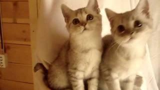 Британские котята (вискас)