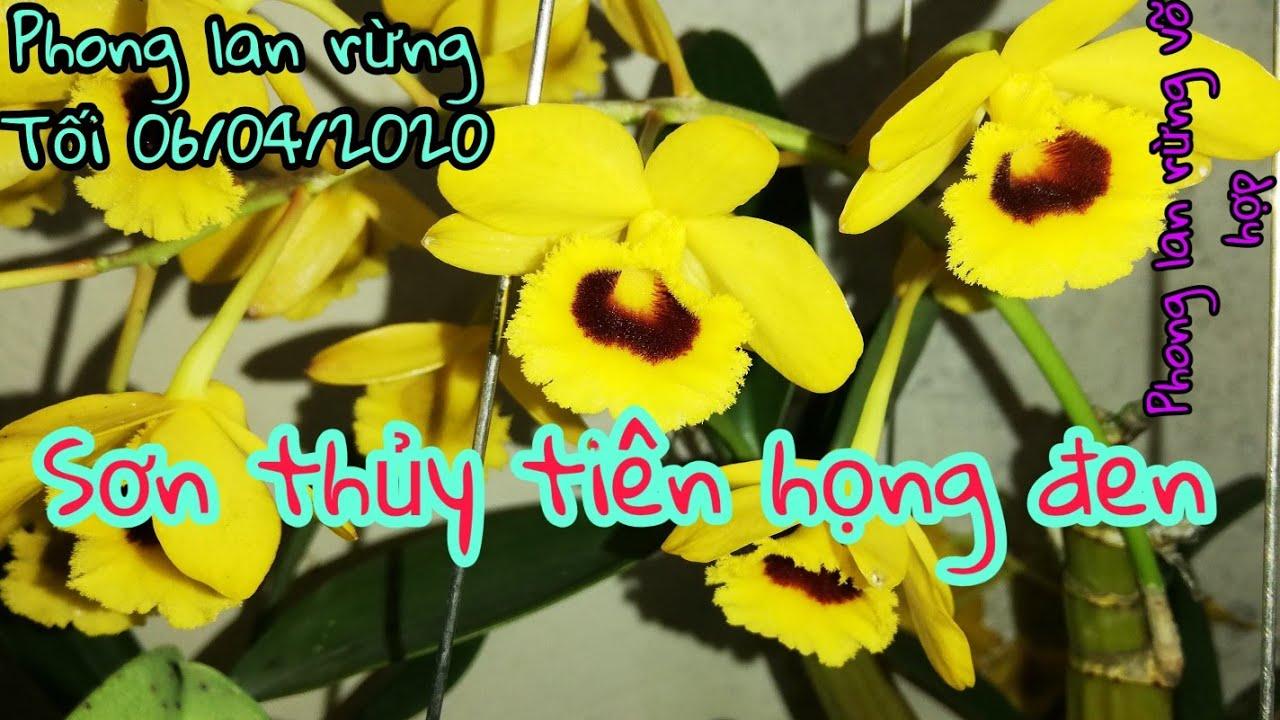 Phong lan rừng ngày 06/04/2020 xin liên hệ em Hợp sđt 0983262902 hoặc 0949914360!