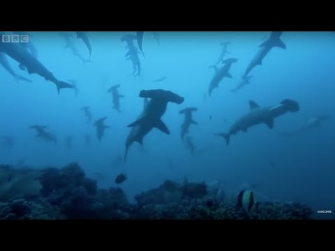 Gatherings of Hammerhead sharks in Costa Rica | BBC Earth