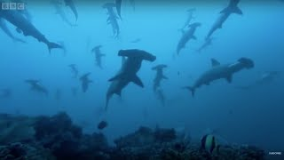 Gatherings of Hammerhead sharks in Costa Rica - BBC Earth