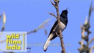 Oriental Magpie Robin in New Delhi