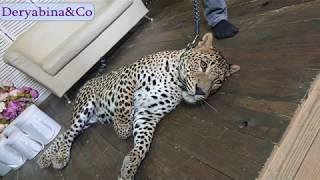Знакомство с леопардом Цезарем, Пенза, Март 2019
